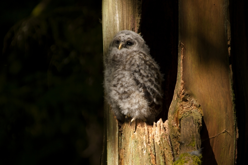 Young Barred Owl Chick