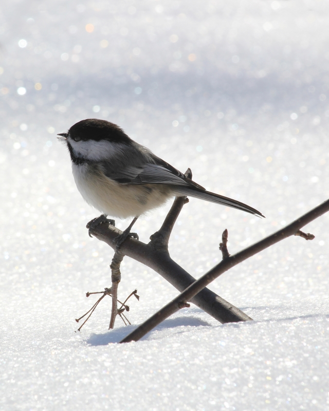 Chickadee In A Sea Of Snow