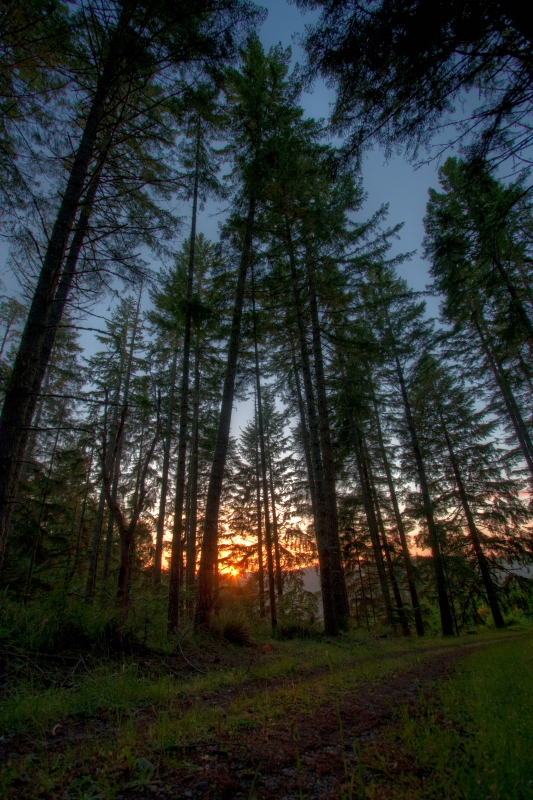 Douglas Fir Forest At Sunset