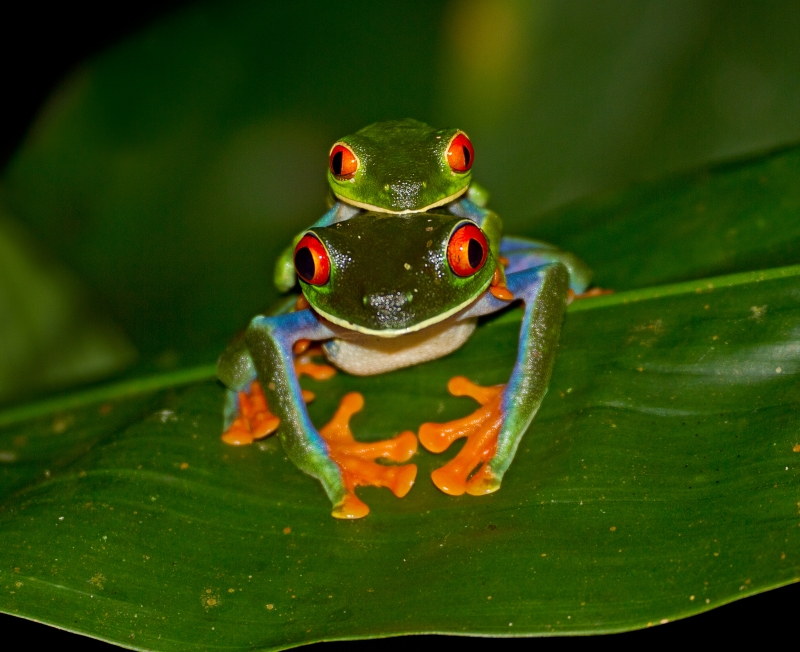 Red-eyed Tree Frogs Mating