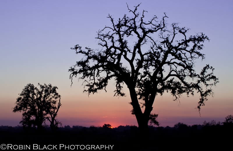 Gnarled Oak, Post-sunset (sierra Foothills)