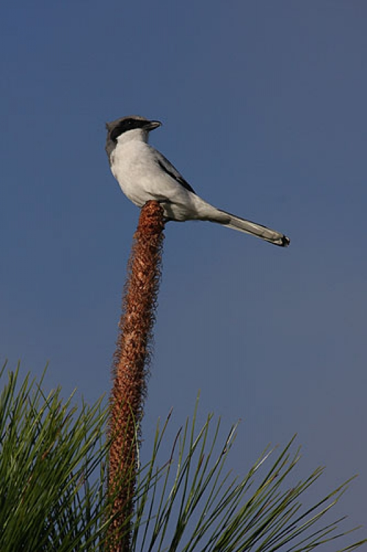 Shrike On A Pine