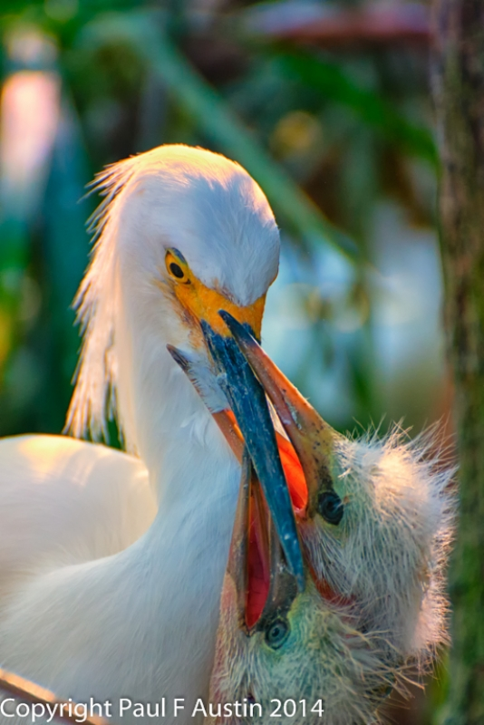 Snowy Egret Chick Mugging Mom