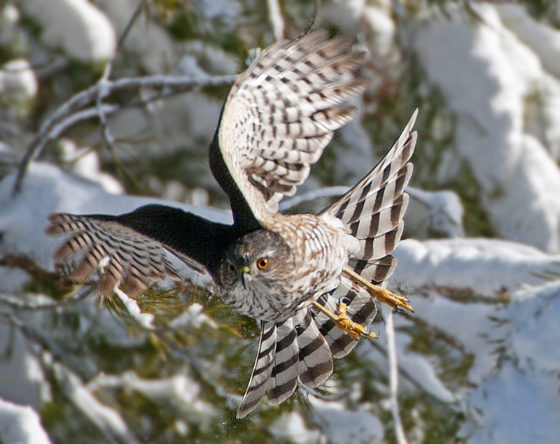 Snowy Day Sharp Shinned Hawk