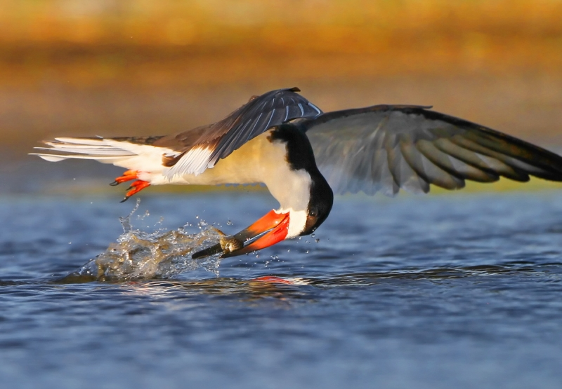Black Skimmer Catching Two Fish