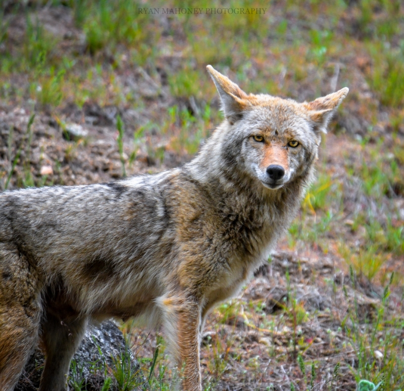 Stare Down – Grimes Pass Coyote