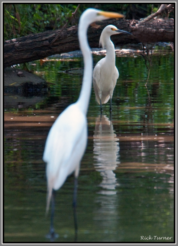 White Egret And Snowy Egret