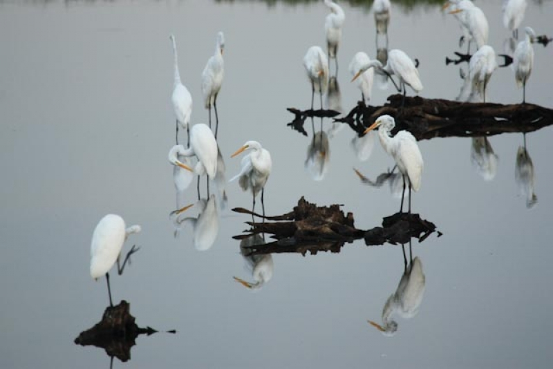 Snowy Egrets At Dusk