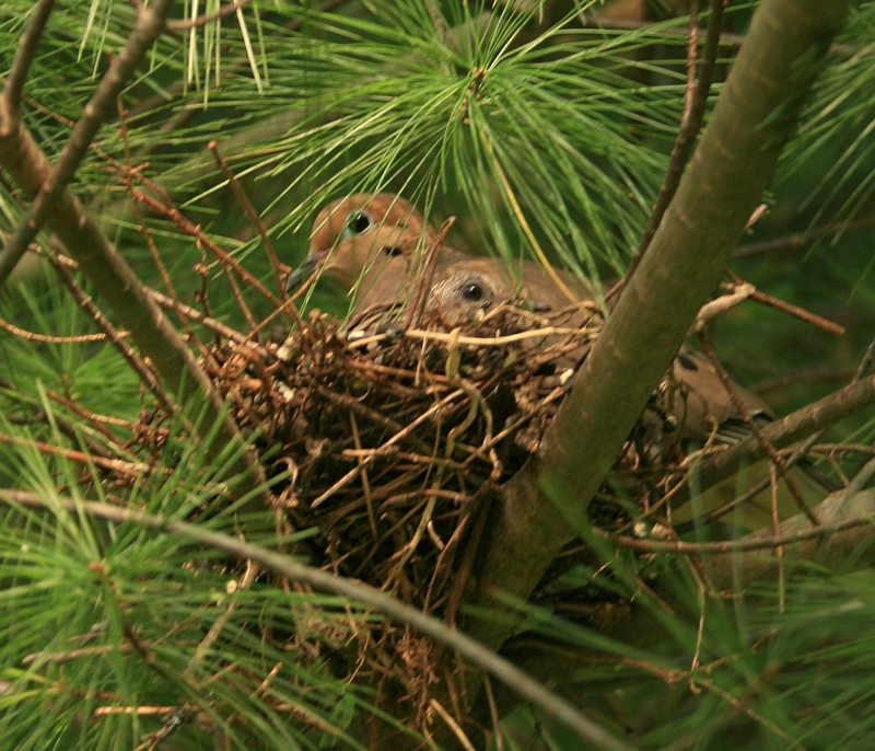 Mourning Dove Mom And Baby