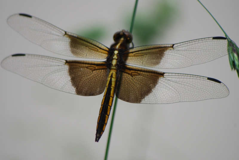 The Dragon Fly