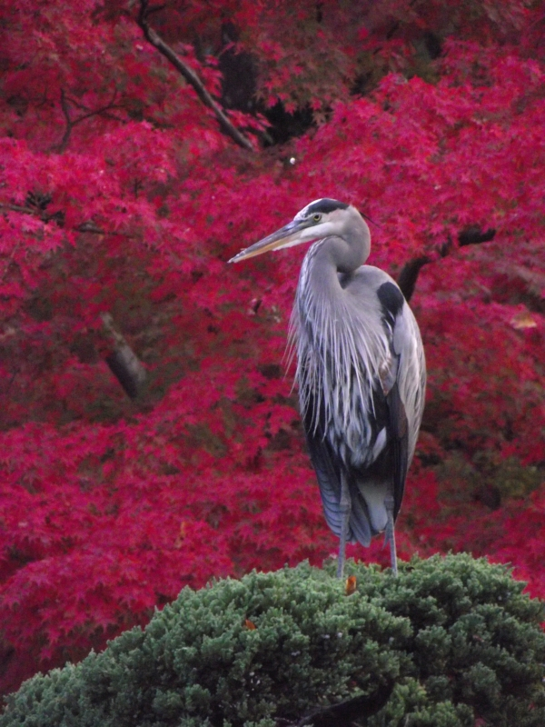 Great Blue Heron In Fall