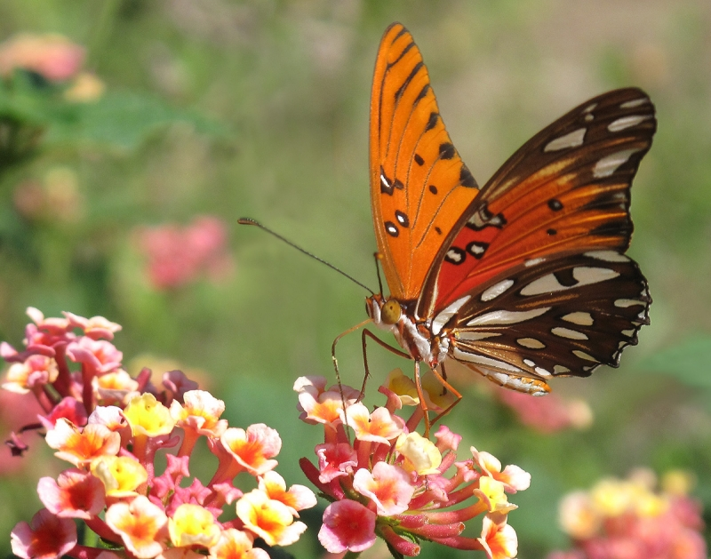 Gulf Fritillary Feeding On Lantana