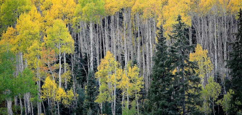 Colorado, Aspen, Fall Colors, Foliage