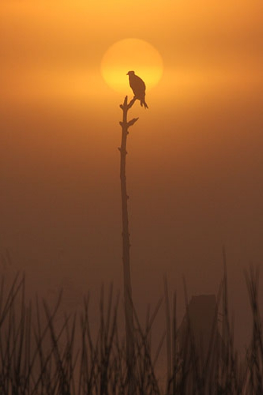 Osprey At Sunrise