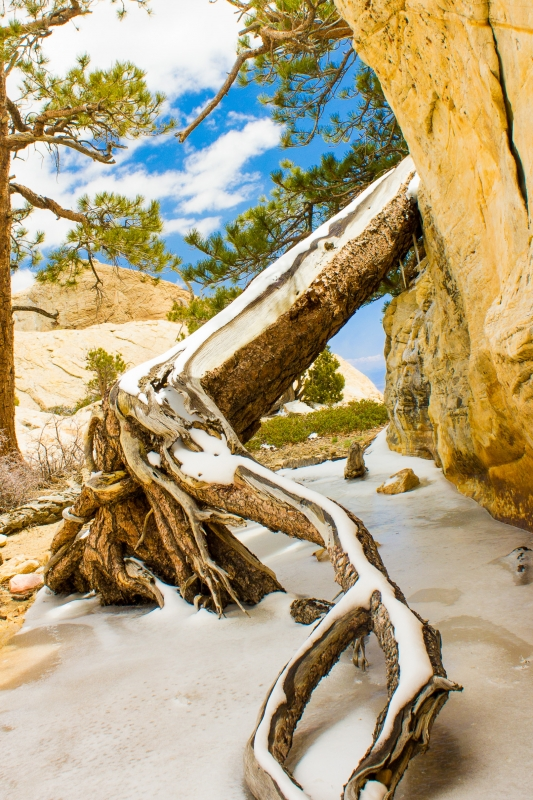 Frozen Pine – Red Rock Canyons
