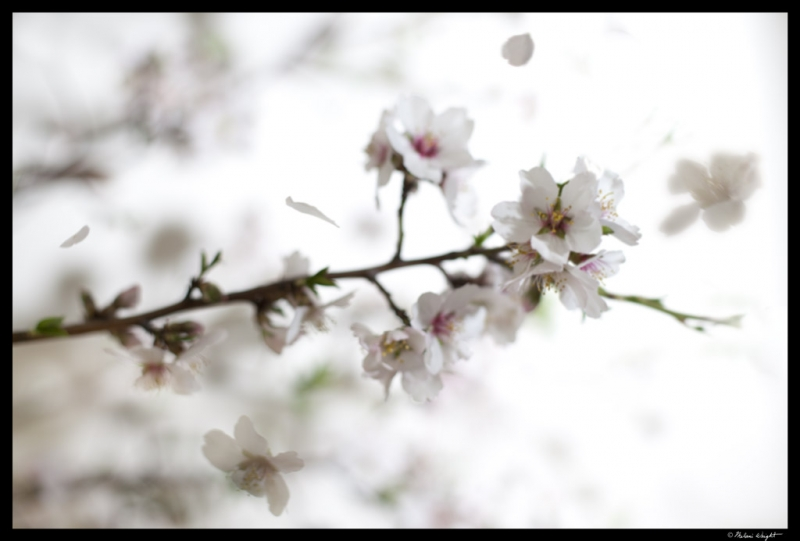 Almond Flowers In The Breeze