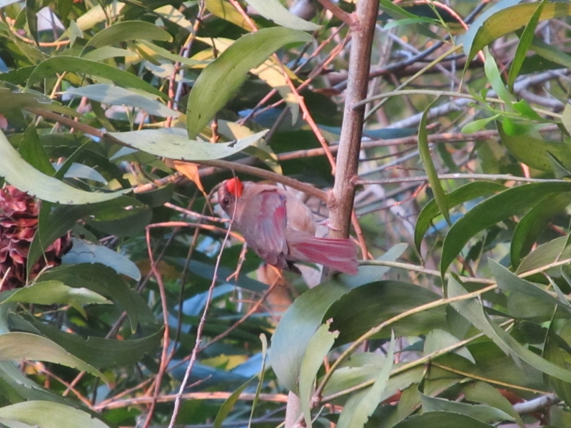 A Small Red Bird