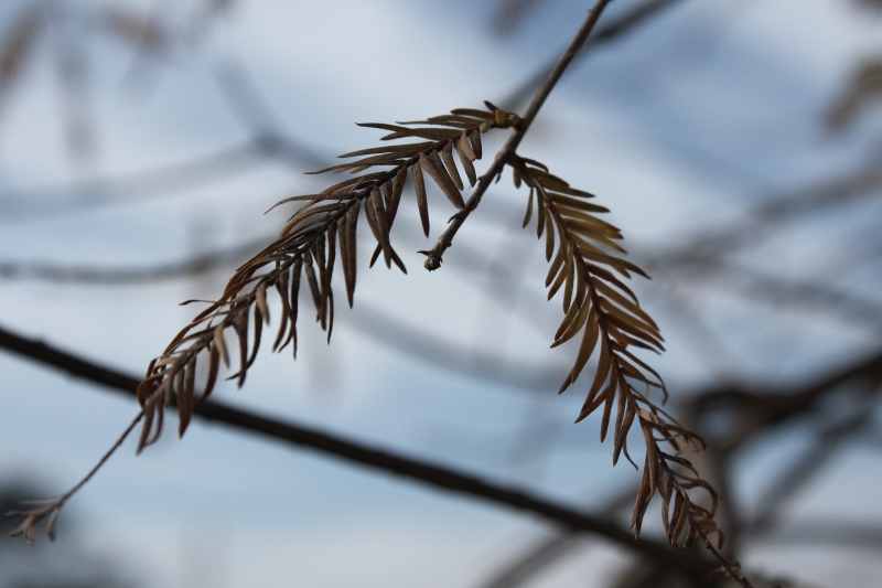 Bald Cypress Branches