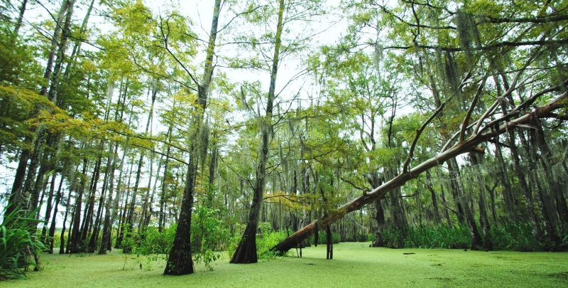 Tree Down In The Swamp