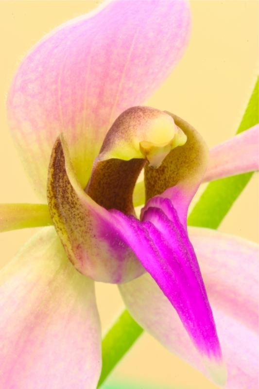 Orchid Tongue