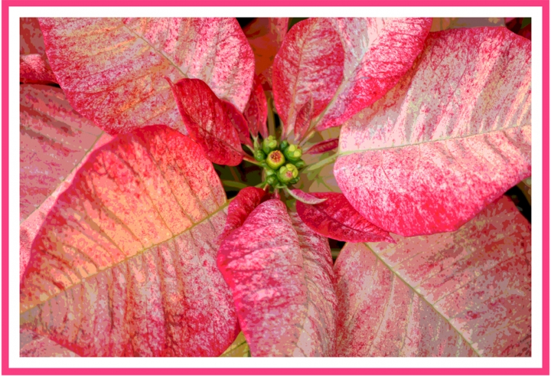 Fancy Poinsettia