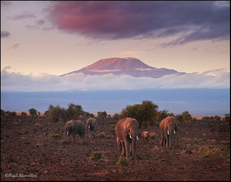 Elephants And Kilimanjaro