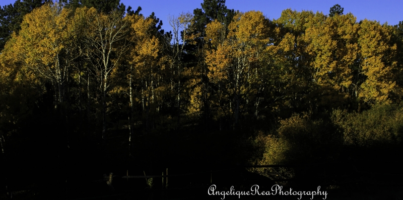 Morning Light On Fall Aspen