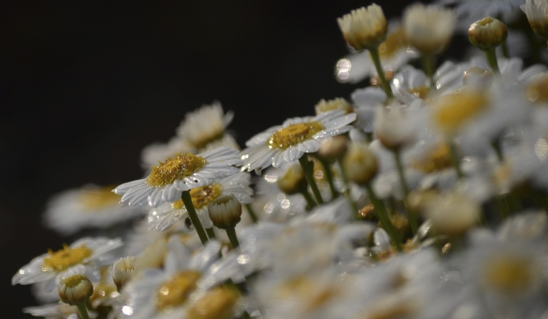 Raindrops On Daisies