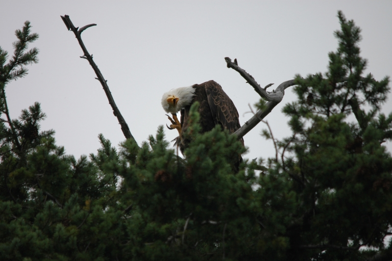 Bald Eagle Has An Itchy Head
