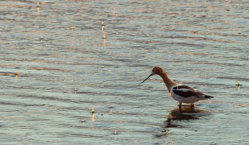 Avocet In The Rain At Sunrise