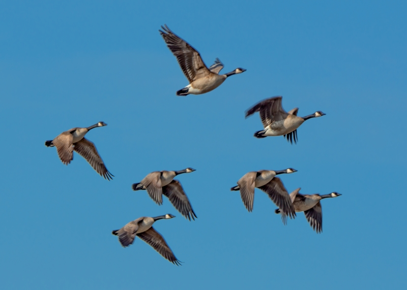 Geese At Creamer's Field