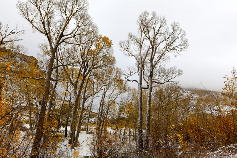 Cottonwoods In Lamoille Canyon