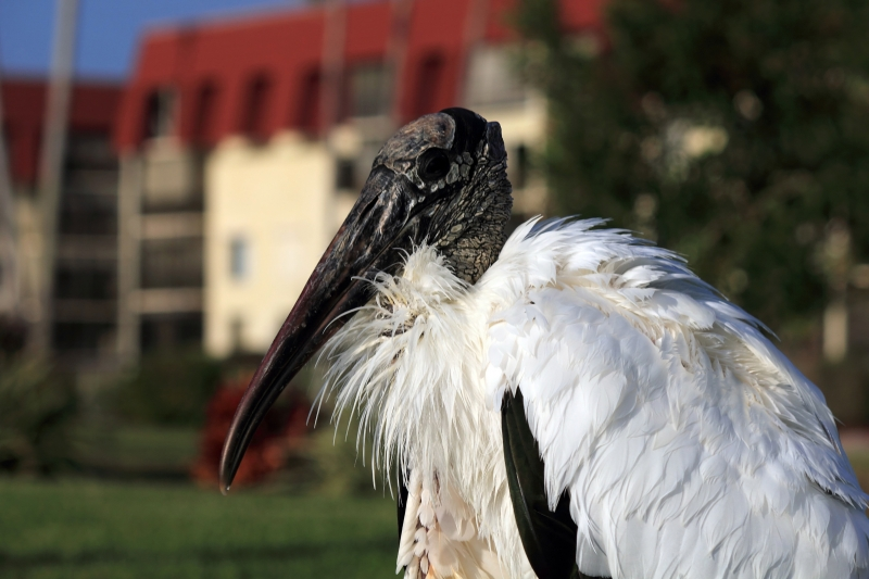 Getting Personal With The Endangered Wood Stork