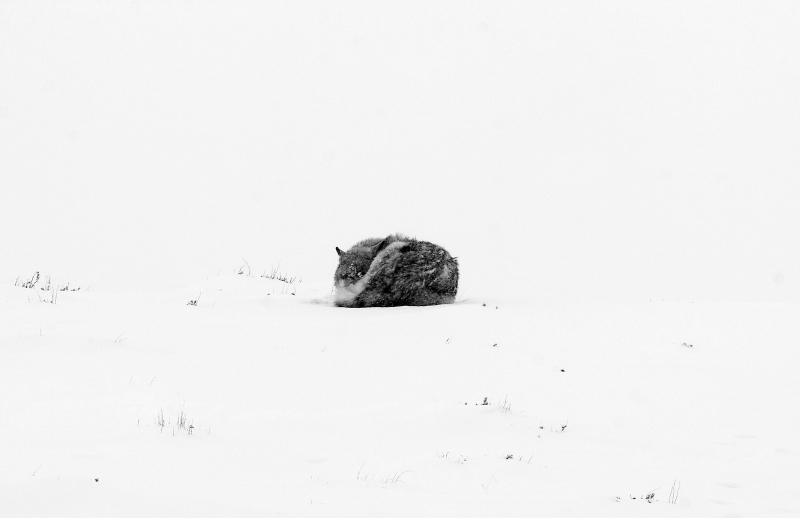 Wolf Curl Up At Minus 15