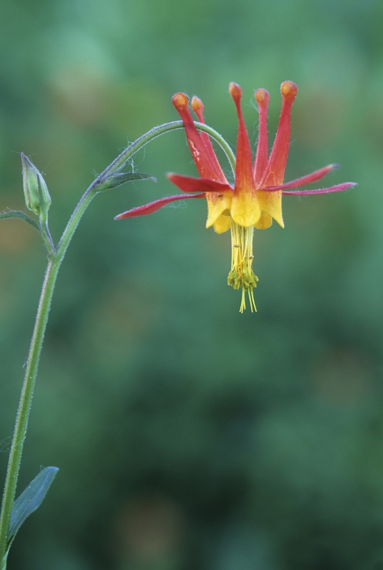 Red Or Crimson Columbine