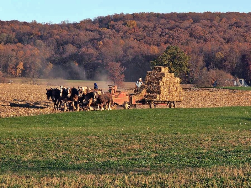 Amish Couple At Fall Harvest