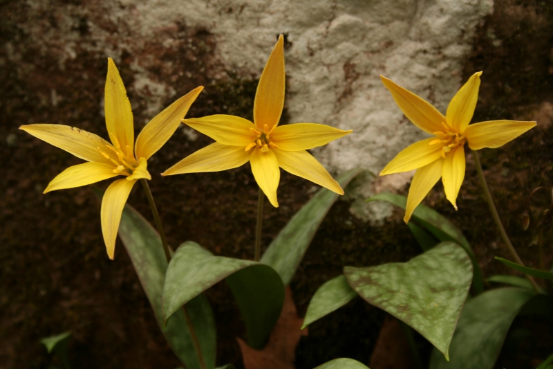 Yellow Trout Lilies