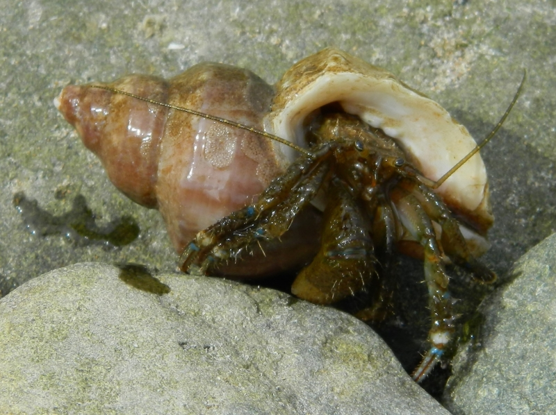 Wet Hermit Crab