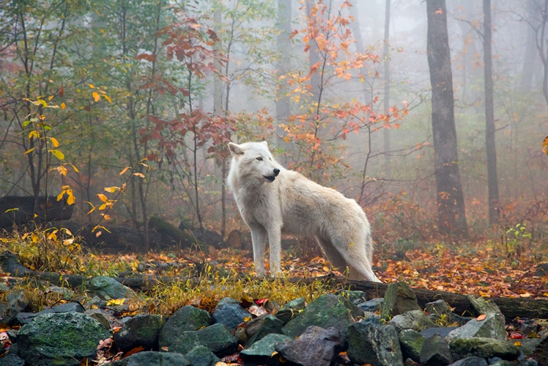 Wolf Amid Autumn Foliage