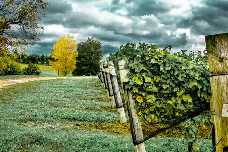 Autumn At The Grape Field