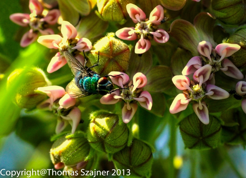 Green Fly On A Milkweed Flower