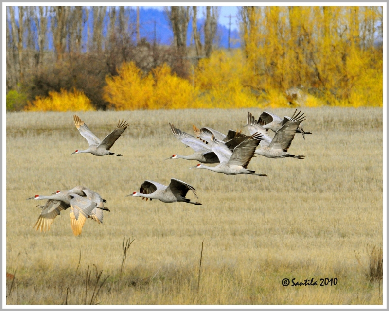 Migration Of The Sand Hill Cranes