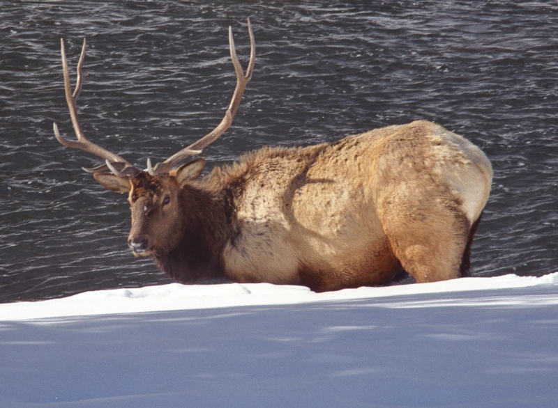 Bull Elk By The Madison