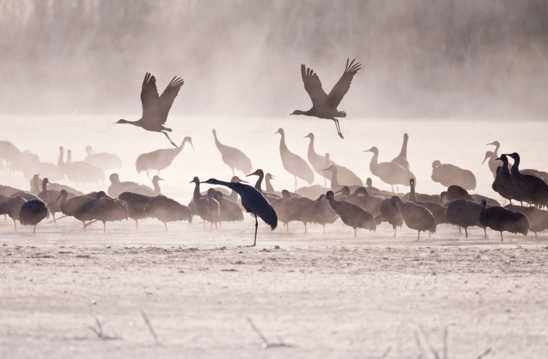Sandhill Crane Early Flight