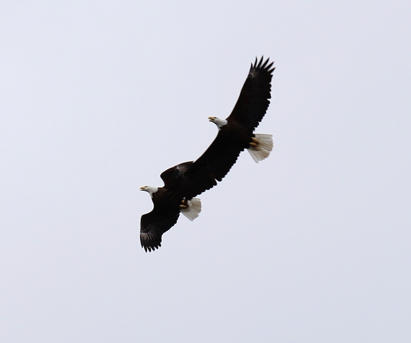 Pair Of Eagles In Flight