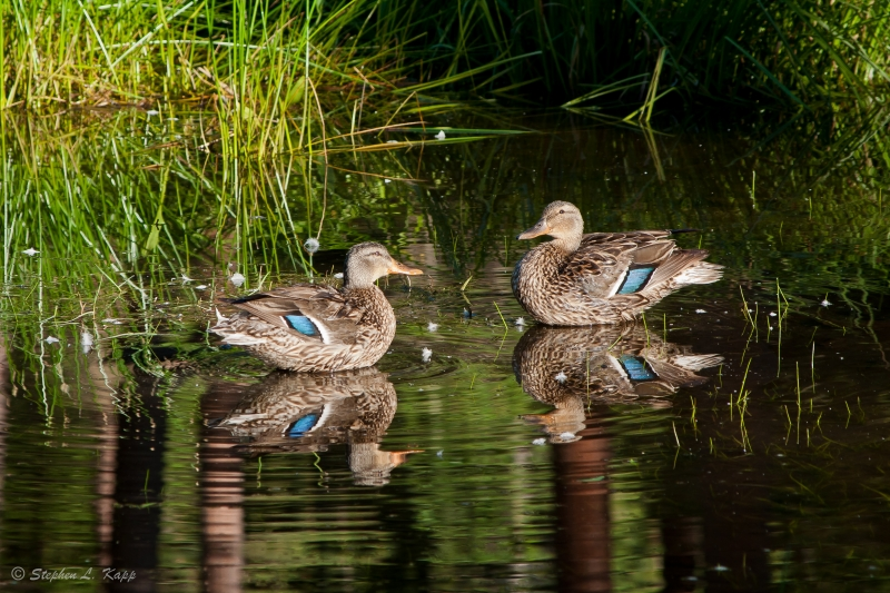 Pair Of Ducks & Twin Reflections