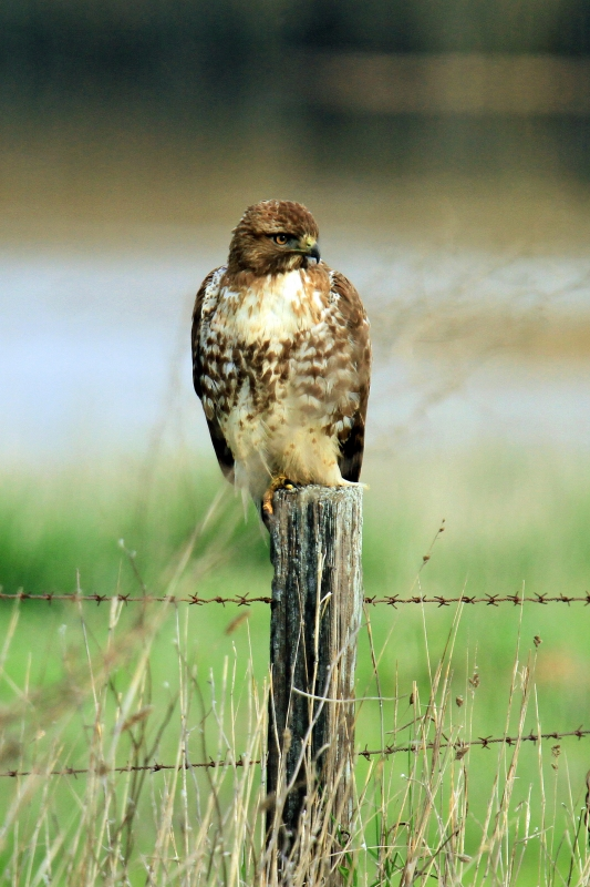 Red Tail Hawk In The Marsh