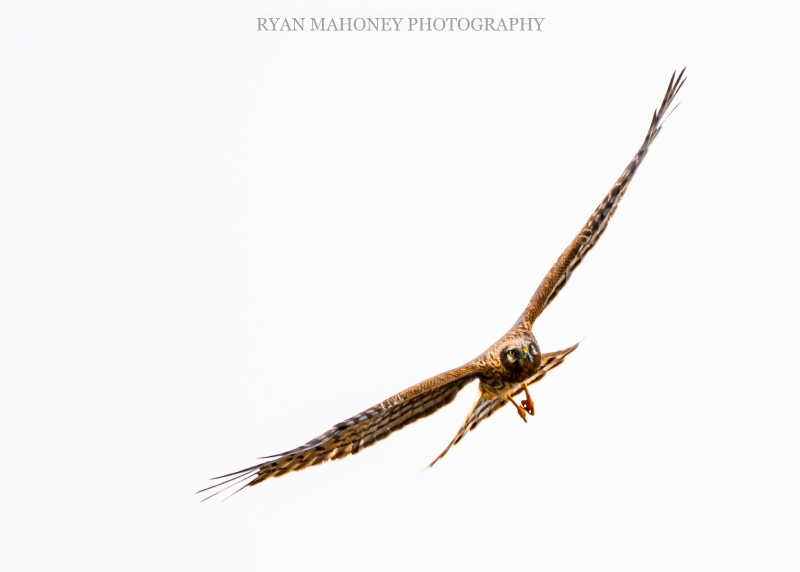 On The Hunt – Northern Harrier