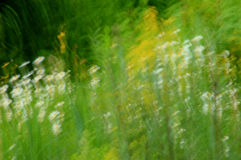 Oxeye Daisies In Wind