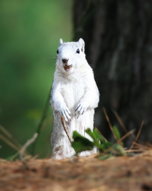 Delmarva Fox Squirrel